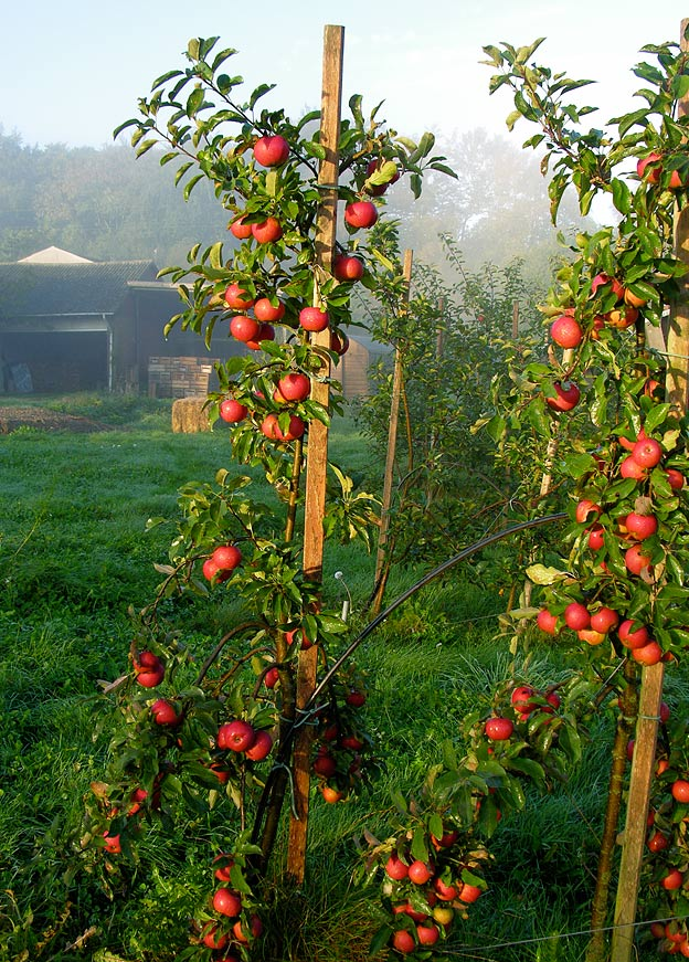 Elstar æbletræ beskæring