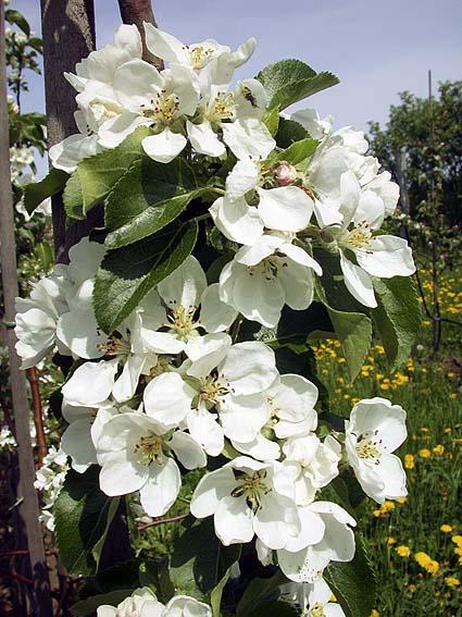 hvornår blomstrer æbletræer